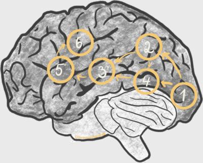 Hjernen med læseområder